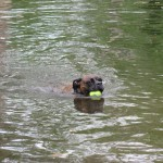 Dog Playing in Water with Ball