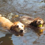 2 Dogs Swimming in Water