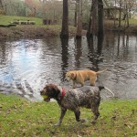 2 Dogs playing in Water